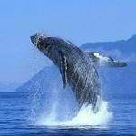 Страна влюбленных китов